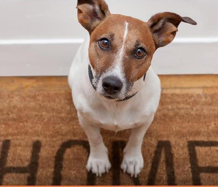 Jack russell dog waiting a the door at home